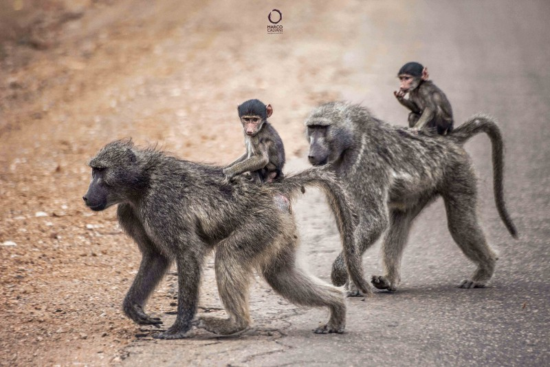 baboons and cubs