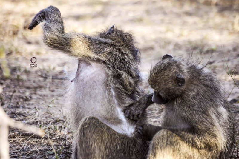 baboons scrubbing
