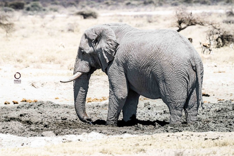 elephant in the mud