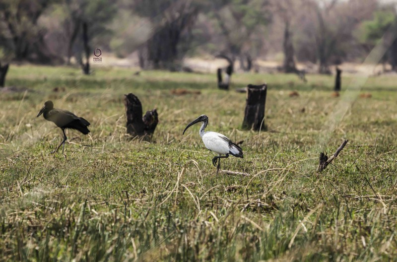ibis and openbill