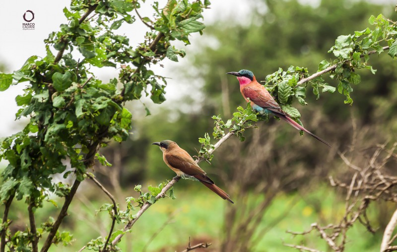 juvenile and carmine bee eater