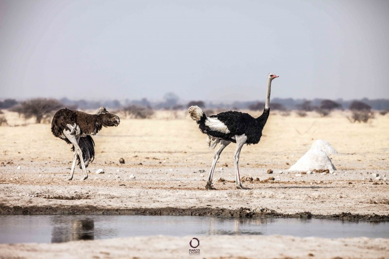 ostrich at the waterhole