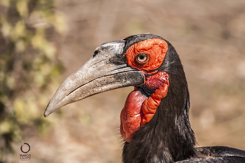 southern great hornbill