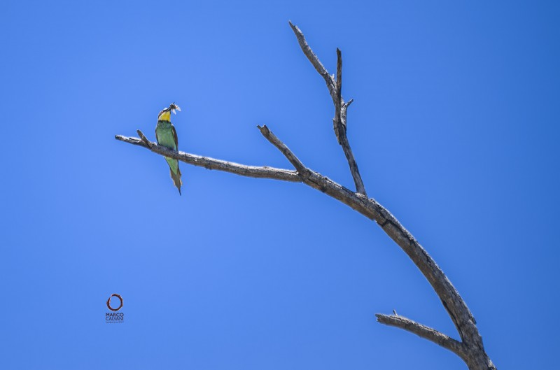 swallow bee eater