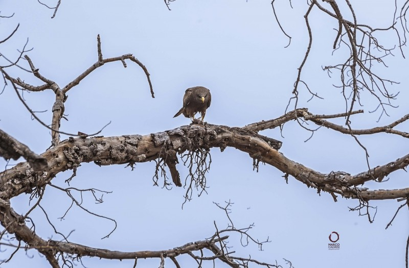 yellow billed kite and prey